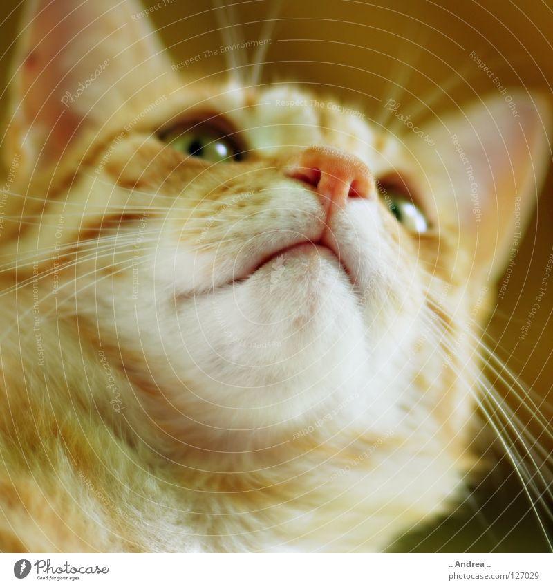 Cat Red Eyes Nose Pelt Mammal Domestic cat Whisker Animal