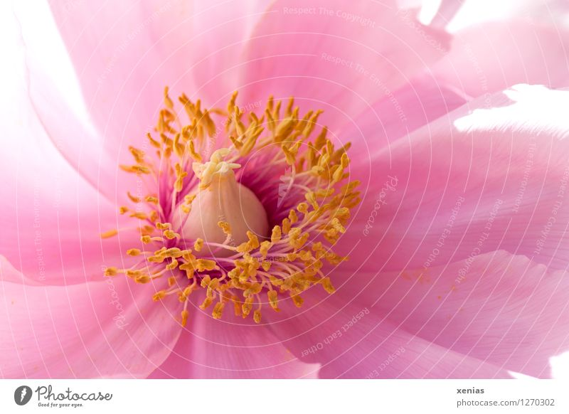 Macro photograph of a peony Peony Blossom Plant Spring Flower Rose Yellow Pink Delicate Beautiful Colour photo Exterior shot Detail Macro (Extreme close-up)