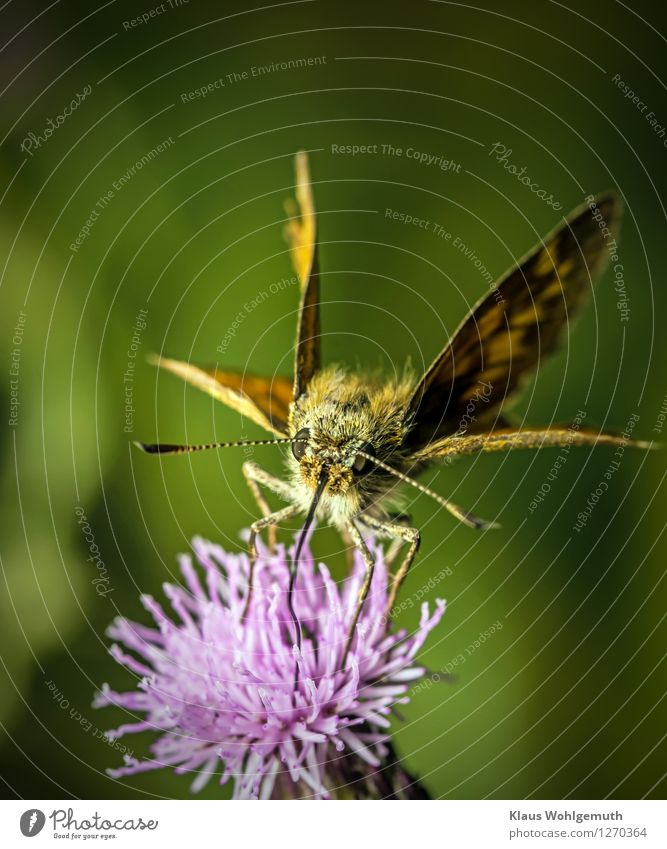 breakfast break Environment Nature Plant Animal Summer Beautiful weather Blossom Thistle blossom Garden Park Meadow Hair Butterfly Big head butterfly 1 Flying