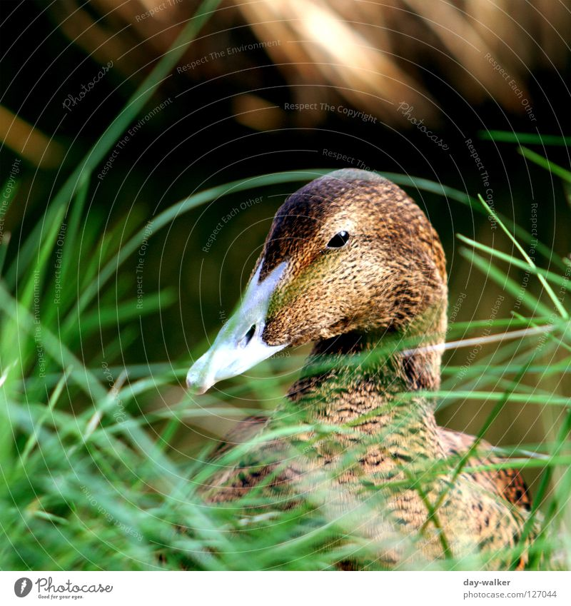 Spy Games Drake Bird Beak Feather Plant Animal Dappled Grass Meadow Pond Wink Duck down Green Brown waterfowl Water focus gradient Contrast Hide