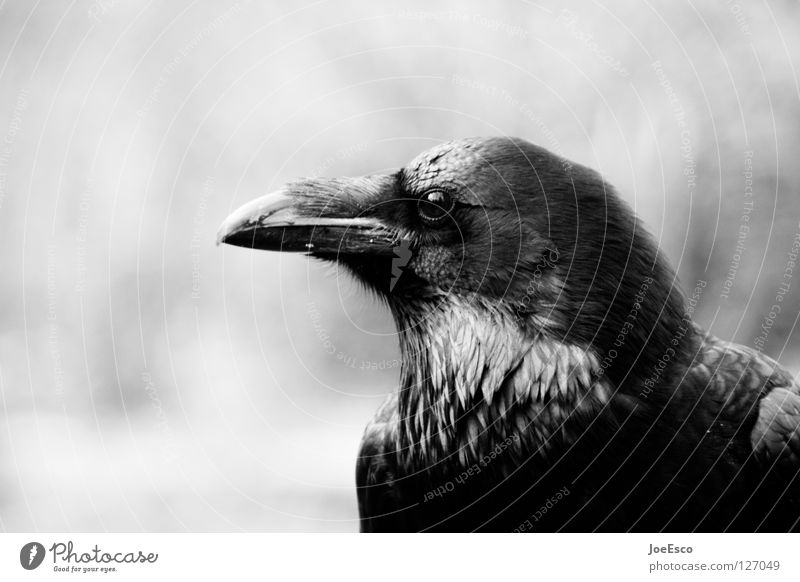 the crow Beautiful Zoo Nature Animal Wild animal Bird 1 Flying Glittering Esthetic Exceptional Strong Black White Raven birds Crow Common Raven Depth of field