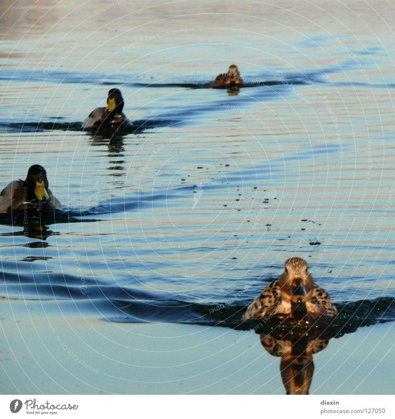 Duck Invasion Bird Drake Formation Reflection Waves Lake Pond waterfowl Water Nature Float in the water Swimming & Bathing Group of animals Duck pond Mallard