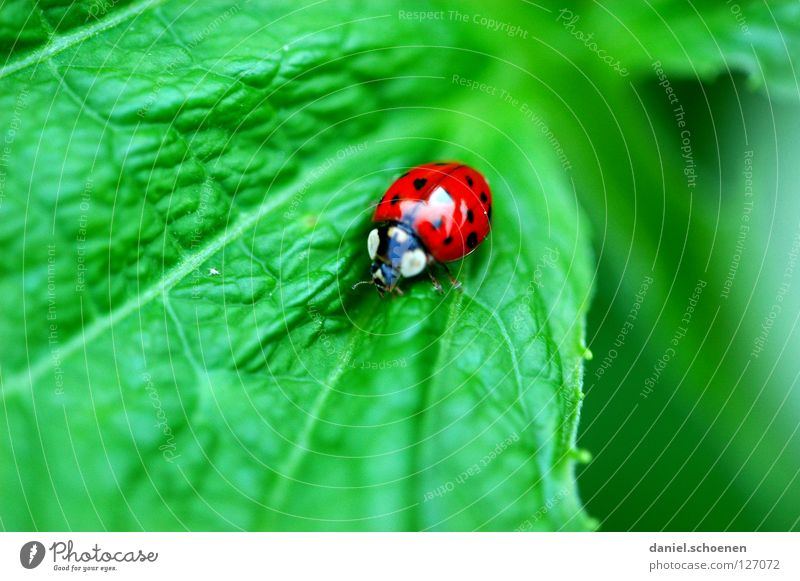 Green Red Summer Leaf Happy Insect Symbols and metaphors Ladybird Beetle Crawl Rachis