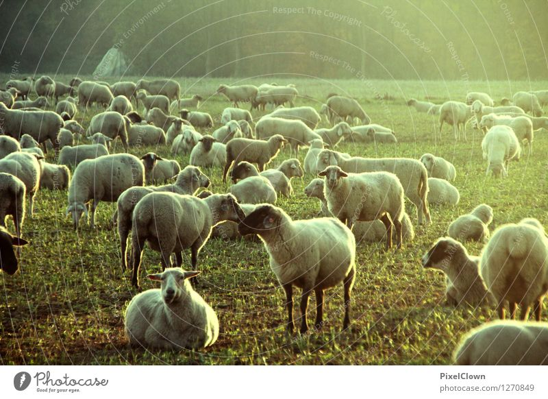 Sheep Festival Agriculture Forestry Nature Sunrise Sunset Summer Meadow Field Village Pelt Animal Farm animal Group of animals To feed Looking Esthetic Trashy