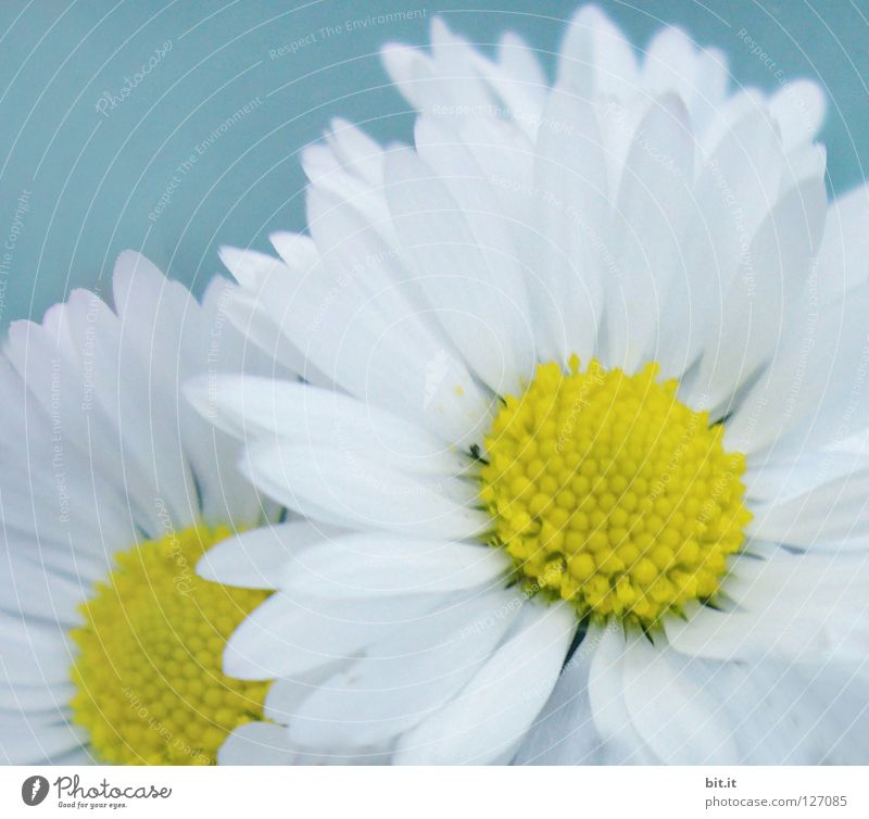 Blue White Beautiful Flower Leaf Spring Blossom Contentment Round Romance Symbols and metaphors Pure Herbs and spices Daisy Marguerite Blossom leave