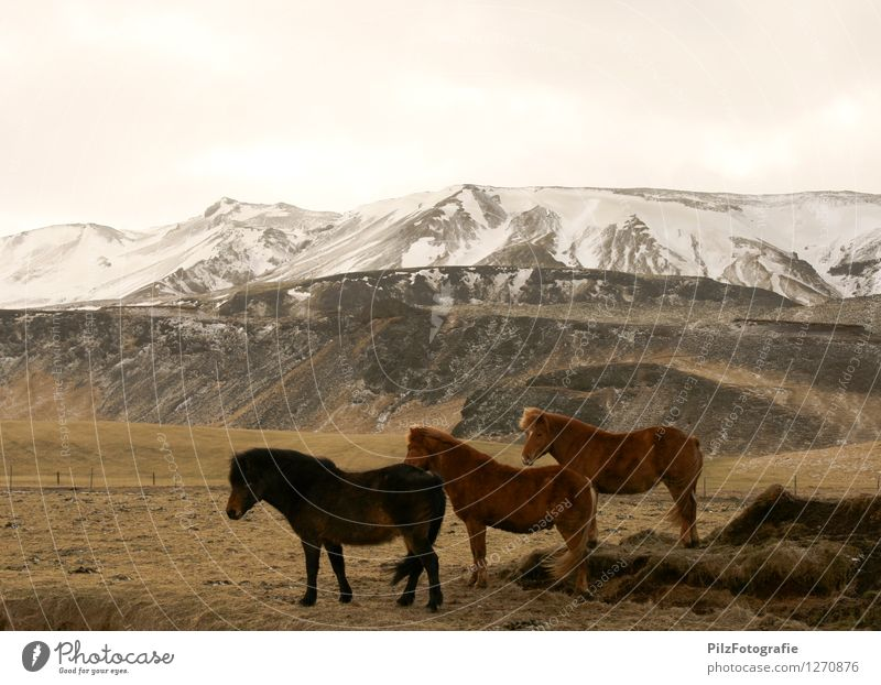 Icelanders Environment Nature Landscape Snow Grass Field Hill Mountain Peak Snowcapped peak Horse Iceland Pony 3 Animal Fence Esthetic Infinity Brown Calm