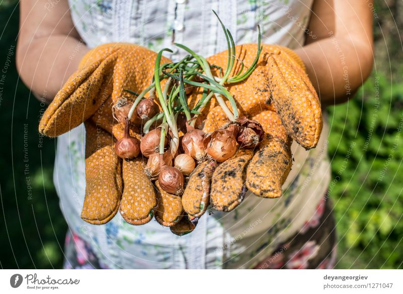 Hands hold plant bulbs in a garden Vegetable Garden Gardening Woman Adults Nature Plant Earth Spring Growth Fresh Natural Green Hold agriculture Onion Farm