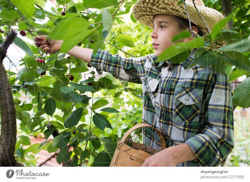 Child harvesting Morello Cherries Nature Green Summer Tree Hand Red Joy Girl Eating Small Family & Relations Garden Fruit Fresh Infancy
