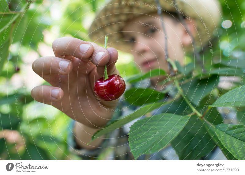 Child harvesting Morello Cherries Nature Green Summer Hand Red Joy Girl Eating Small Family & Relations Garden Fruit Fresh Infancy Cute