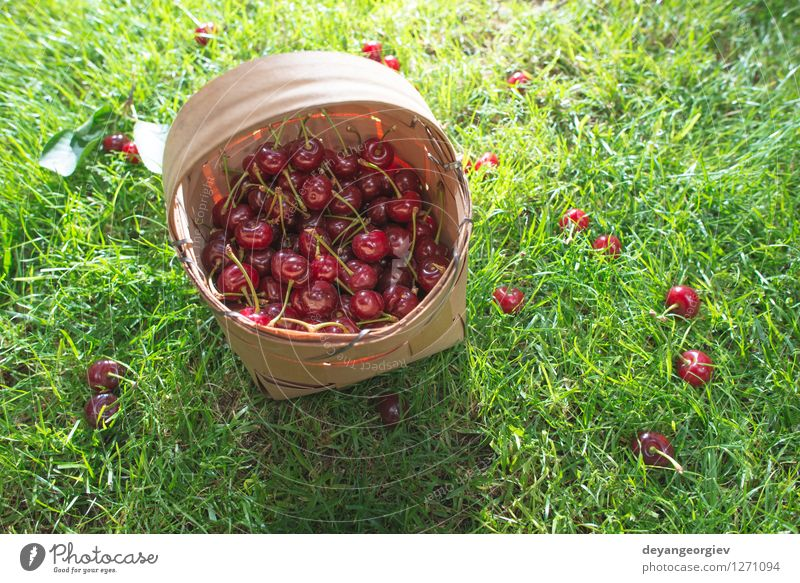 Morello Cherries in basket on green meadow Nature Beautiful Green Summer Tree Red Leaf Meadow Grass Natural Garden Fruit Fresh Seasons Harvest Juicy