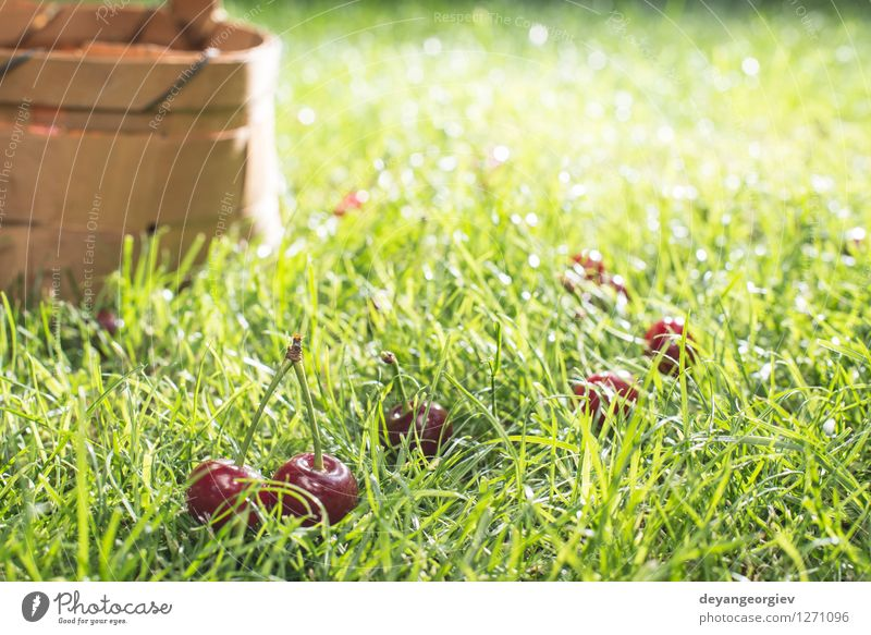 Morello Cherries in basket on green meadow Nature Green Beautiful Summer Red Leaf Meadow Grass Natural Garden Fruit Fresh Seasons Harvest Juicy Gardening