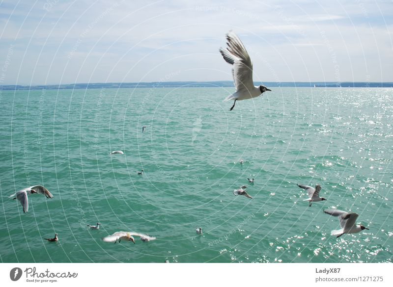 seagull in flight Animal Bird Flock Water Feeding Relaxation Vacation & Travel Colour photo Exterior shot Day