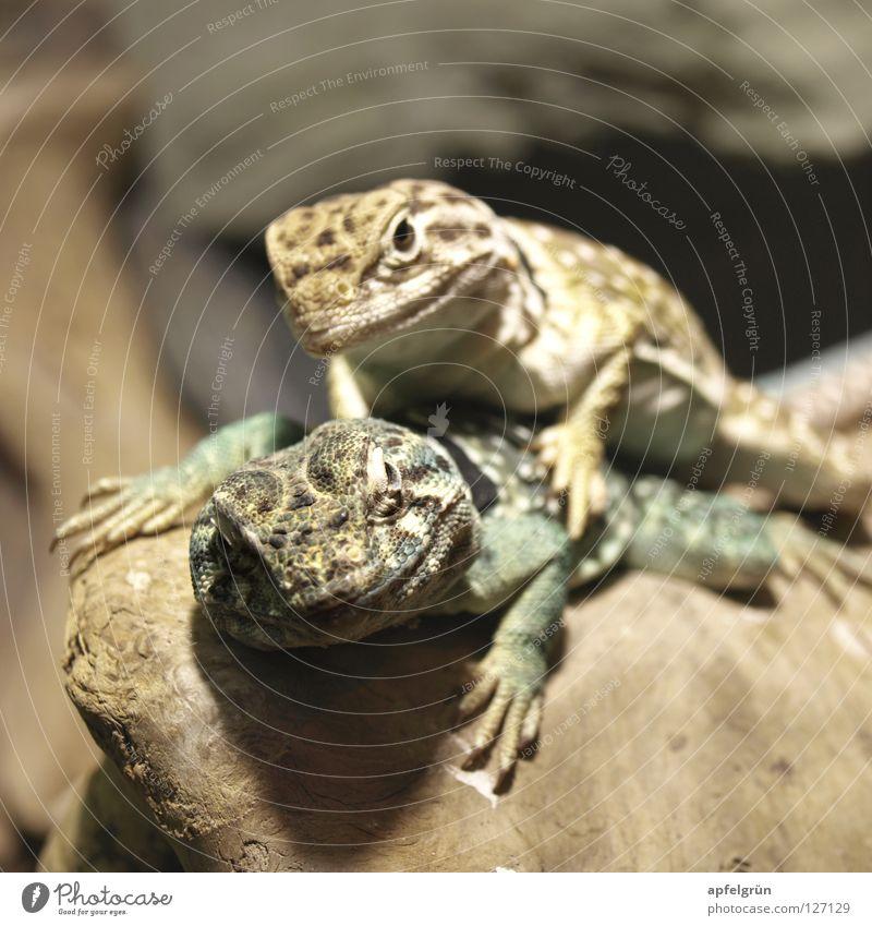Green Joy Animal Yellow Wood Happy Friendship Skin Electricity Observe Curiosity Desert Dry Narrow Reptiles Claw