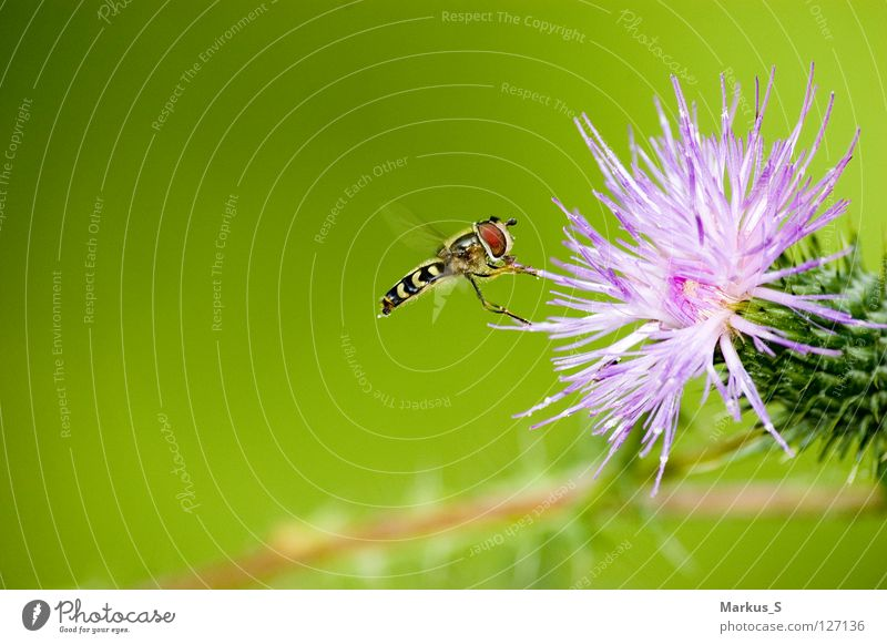 docking manoeuvre Insect Flower Green Animal Hover Fly hoverfly Nature Flying