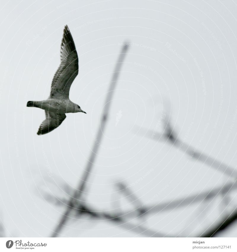 Mafied the Seagull Livestock Animal Avaricious Bird Hover Glide Tree Blur Span Ocean Lake Air Beak Gray Gloomy Autumn Peace filthy creature Flying Branch Wing