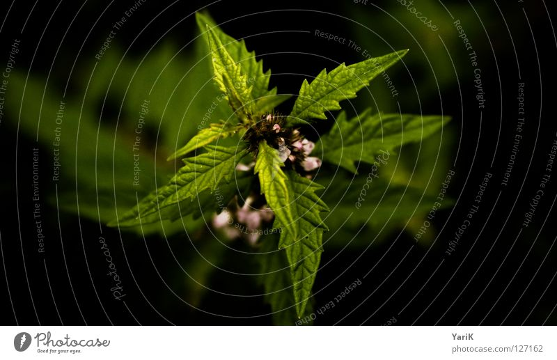 Green Plant Leaf Black Growth Bushes Thorny Foliage plant Prongs Weed Medicinal plant Edge of the forest Greeny-yellow