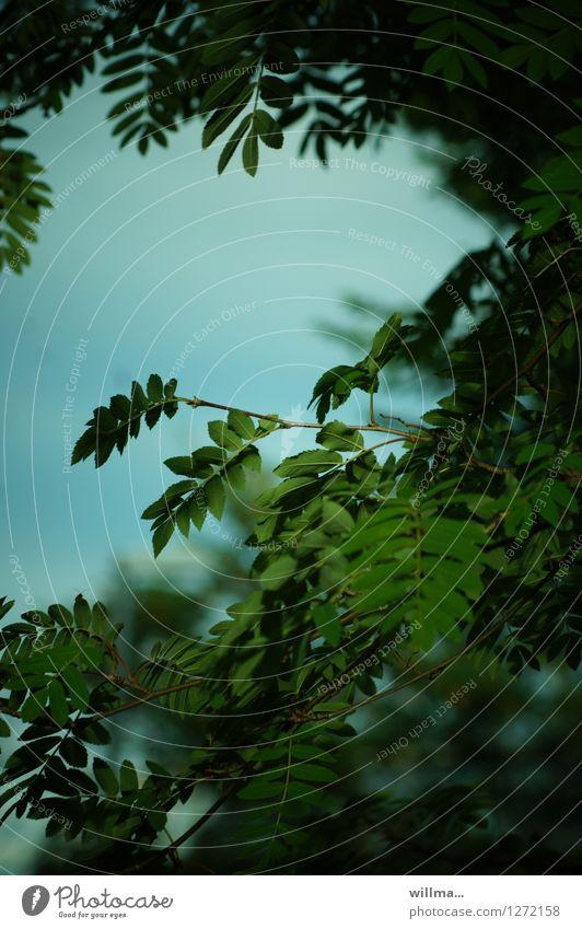 Nature Plant Green Summer evening Greeny-blue Rowan tree Rowan tree leaf