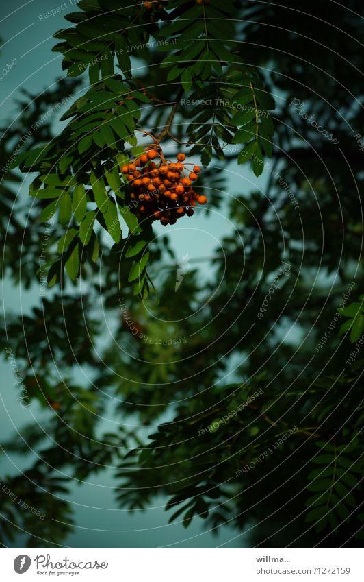 Green Red Dark Natural Seed head Rawanberry Rowan tree Rowan tree leaf