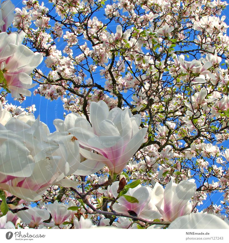 magnolia tree Happy Beautiful Nature Spring Climate Warmth Tree Flower Blossom Blossoming Happiness Blue Brown Pink Black White Moody Spring fever Perspective