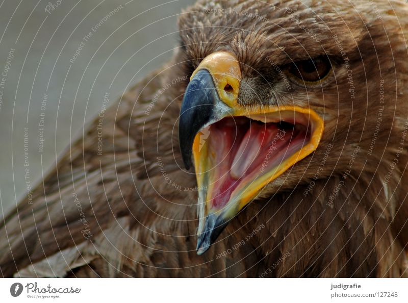 eagle Eagle Bird Bird of prey Beak Feather Ornithology Animal Beautiful Scream Environment Colour steppe eagle Tongue Pride Looking Life Nature