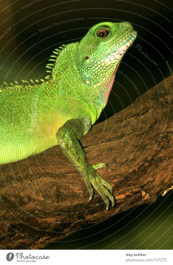 Green Animal Skin Posture Branch Zoo Captured Agriculture Barn Reptiles Claw Enclosure Saurians Armor-plated Comb Iguana