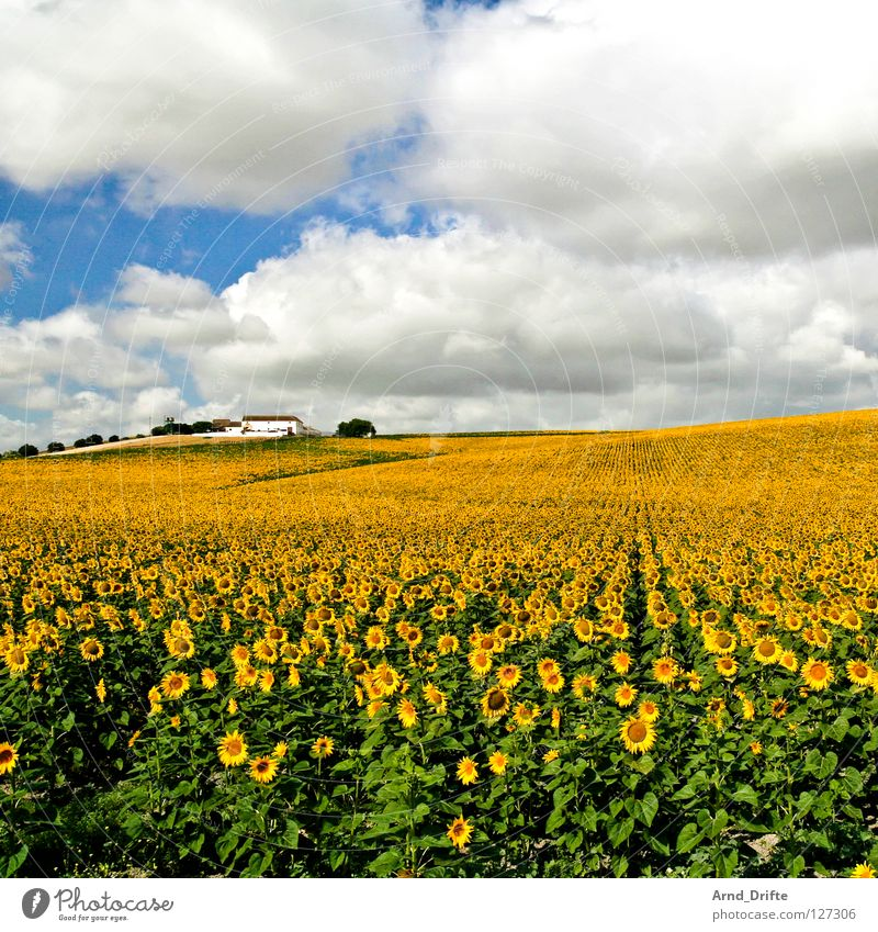Sunflower field IV Clouds Field Flower Summer Yellow White Spring Horizon Agriculture Diligent Work and employment Happiness Friendliness Fresh