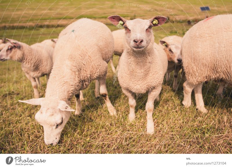 Sheep picture Landscape Grass Meadow Coast Animal Farm animal Pelt Paw Flock Group of animals Herd Baby animal To feed Feeding Healthy Soft Love of animals