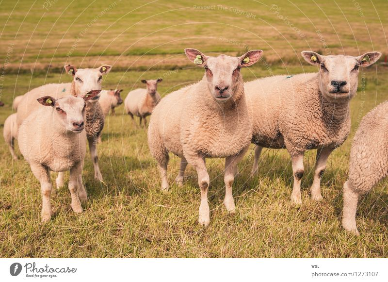 Piercing Convention Landscape Hill Farm animal Sheep Flock Group of animals Herd Feeding Soft Love of animals Livestock breeding Dike Netherlands Wool Pelt