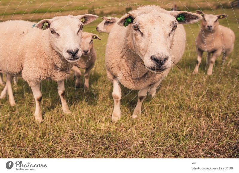 Sheep staring at men Nature Grass Meadow Field Animal Farm animal Flock Herd Animal family Feeding Soft Love of animals Attachment Dike Reap To feed bleat Wool