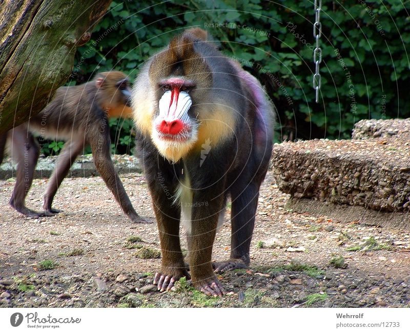 Zoo Monkeys Duisburg Mandrill