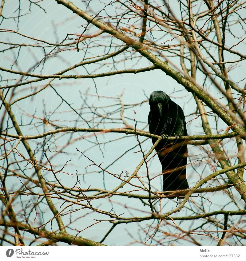 Nature Tree Blue Plant Animal Bird Environment Sit Branch Natural Curiosity Crouch Twigs and branches Crow