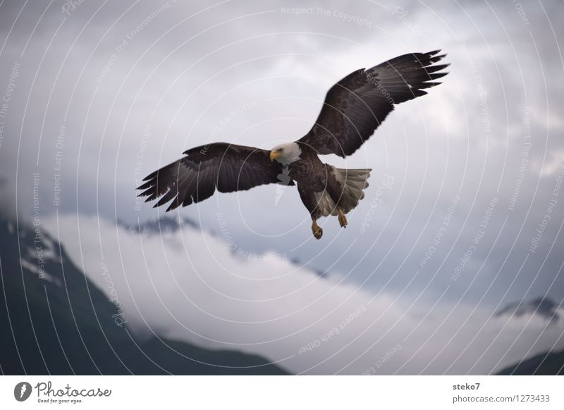landing approach Clouds Mountain Bald eagle 1 Animal Flying Hunting Freedom Ease Alaska Copy Space bottom