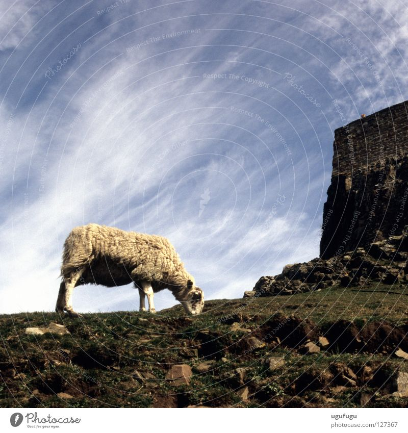 sheeps Sky Cirrus Iceland Mammal Lindisfarne castle grass clouds wool stones