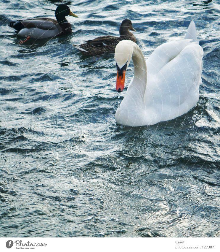 Blue Water White Green Beautiful Animal Dark Life Coast Lake Bird Waves Wind Swimming & Bathing Pair of animals Drops of water