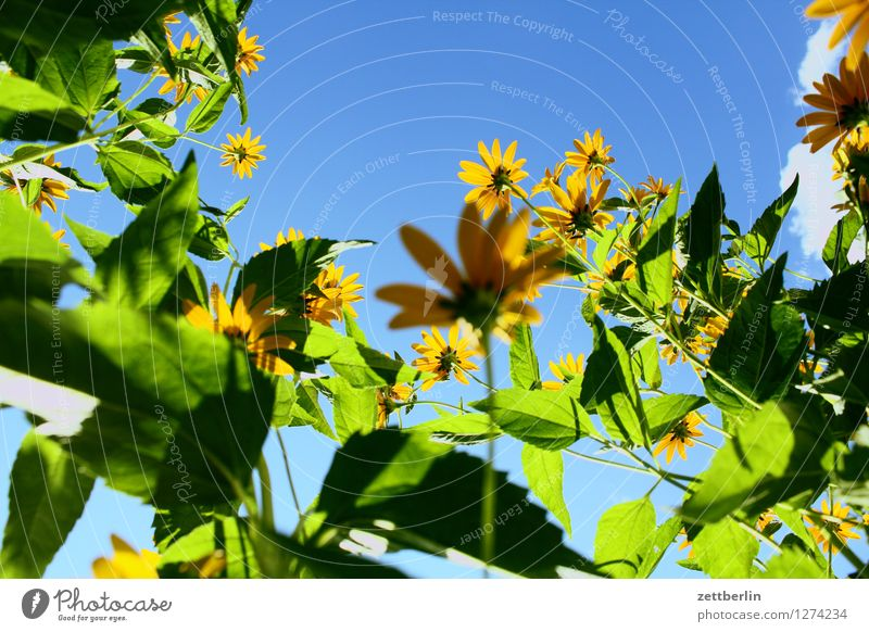 flowers Rudbeckia Daisy Family Flower Blossom Summer Blossoming Worm's-eye view Sky Cloudless sky Beautiful weather Day Copy Space Light Shadow Garden