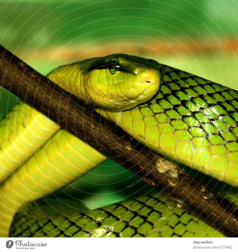 Green Plant Animal Yellow Brown Skin Dangerous Branch Barn Snake Crawl Reptiles Tree bark Wood grain Bend Creep