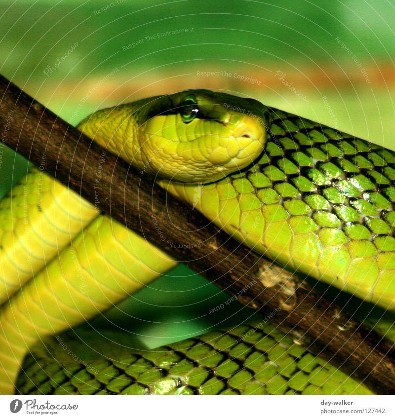 Green Plant Animal Yellow Brown Skin Dangerous Branch Barn Snake Crawl Reptiles Tree bark Wood grain Bend Creep