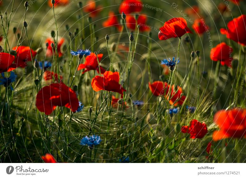 Spreedorado poppy seed dieu! Plant Beautiful weather Flower Grass Blossom Meadow Field Blue Green Red Poppy Poppy blossom Poppy field Poppy capsule Poppy leaf