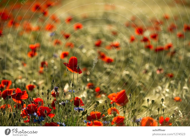 Nature Plant Tree Red Environment Blossom Meadow Grass Field Bushes Poppy Agricultural crop Barley Cornflower Poppy field Poppy blossom