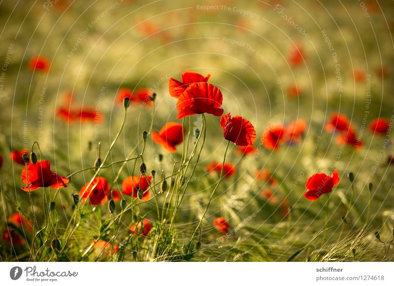 Spreedorado as far as the eye can see. Environment Nature Plant Flower Field Green Red Poppy blossom Poppy field Poppy leaf Poppy capsule Barley Barleyfield