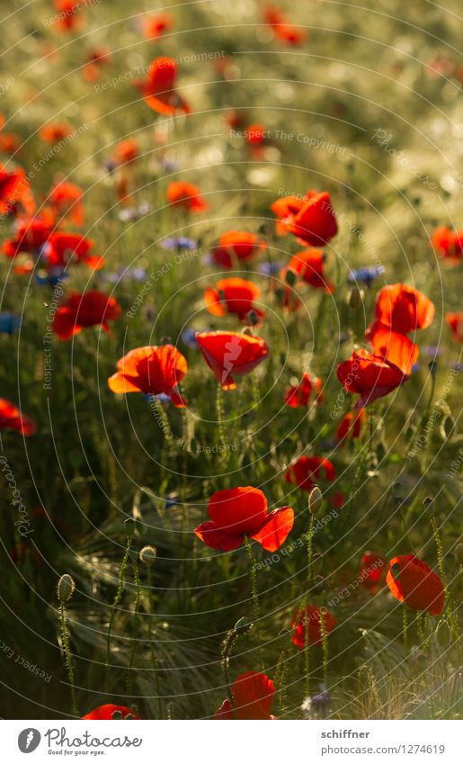 Blue Plant Green Flower Red Meadow Field Bushes Poppy Foliage plant Agricultural crop Poppy field Poppy blossom Poppy capsule