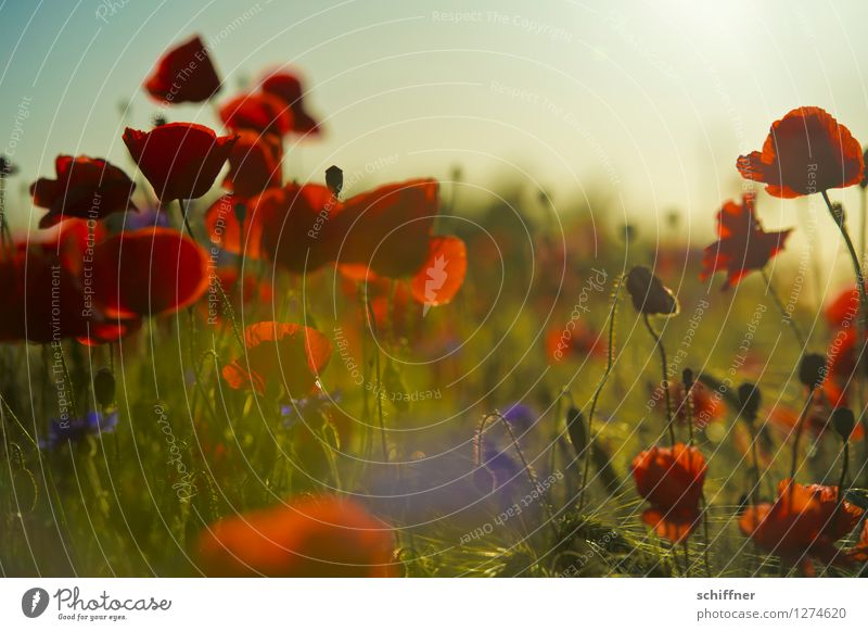 Nature Plant Summer Red Landscape Environment Blossom Meadow Grass Field Bushes Poppy Dusk Agricultural crop Evening sun Cornflower