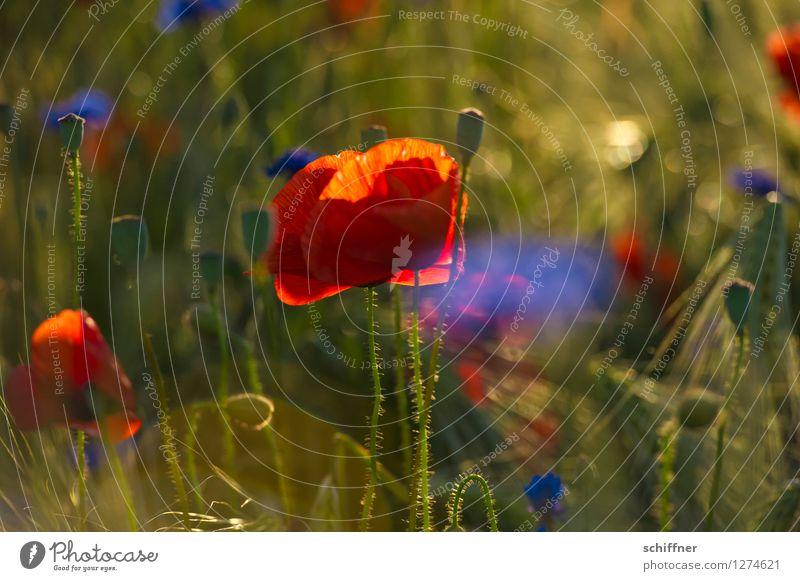 Blue Plant Green Summer Flower Red Meadow Grass Field Bushes Poppy Summery Cornflower Poppy field Poppy blossom Spreewald