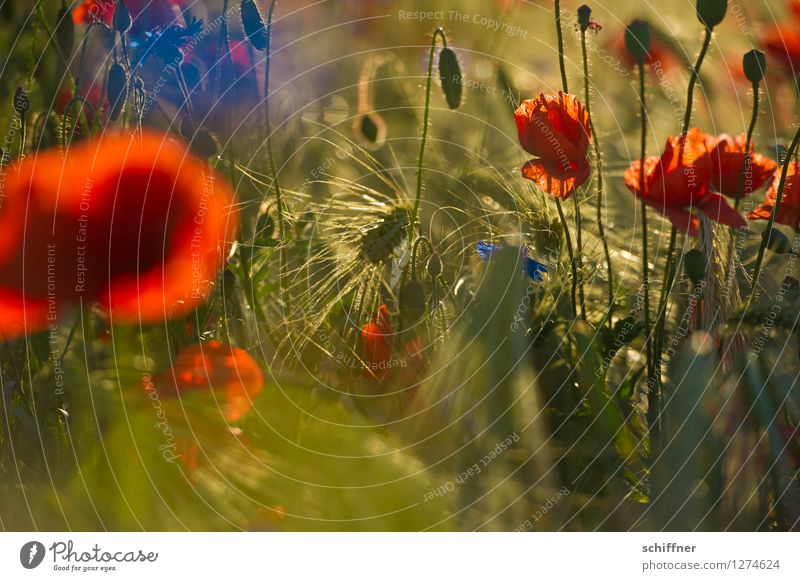 Spreedorado colored corn. Plant Flower Blossom Agricultural crop Meadow Field Blue Red Barley Barleyfield Poppy Poppy blossom Poppy field Grain Cornfield
