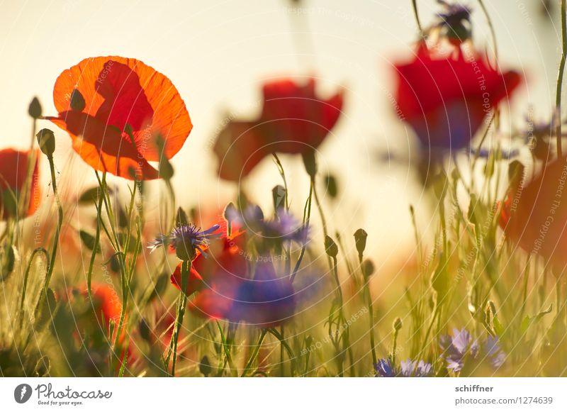Blue Plant Green Flower Red Meadow Grass Field Beautiful weather Poppy Cornflower Poppy field Poppy blossom Poppy capsule