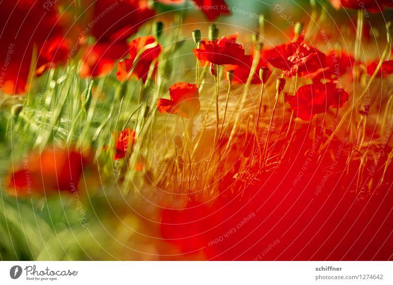 Plant Green Flower Red Leaf Blossom Meadow Grass Field Beautiful weather Poppy Poppy field Poppy blossom Poppy capsule Poppy leaf