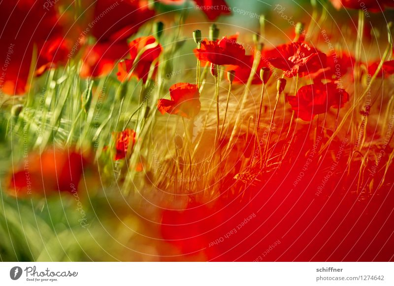 Spreedorado red-green weakness. Plant Beautiful weather Flower Grass Leaf Blossom Meadow Field Green Red Poppy Poppy blossom Poppy capsule Poppy field