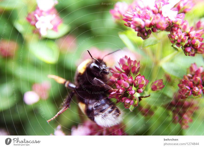 Bumblebee Bumblebee - Mors Mors Nature Plant Animal Spring Summer Beautiful weather Flower Leaf Blossom Agricultural crop Wild plant Oregano Marjoram