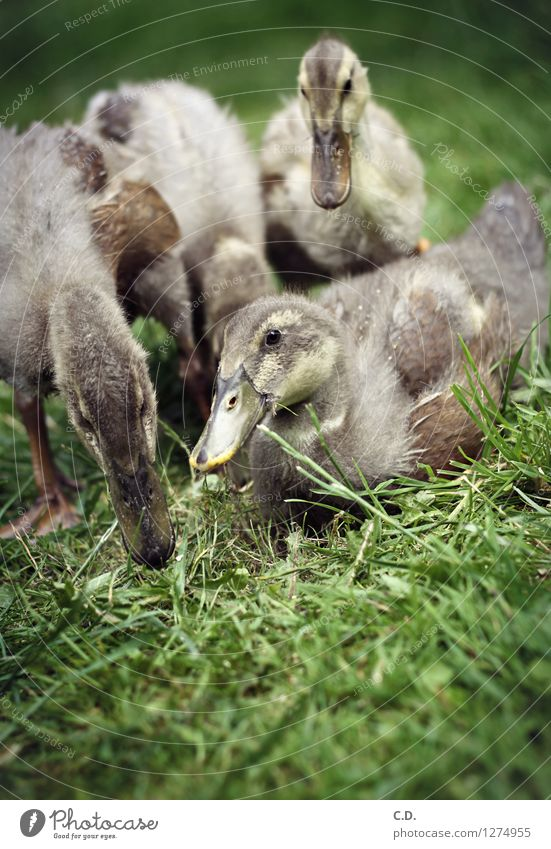 Duck, duck, duck... Nature Grass Garden Farm animal Common Duck Duckling 4 Animal To feed Authentic Happy Natural Cute Green Feather Beak Colour photo