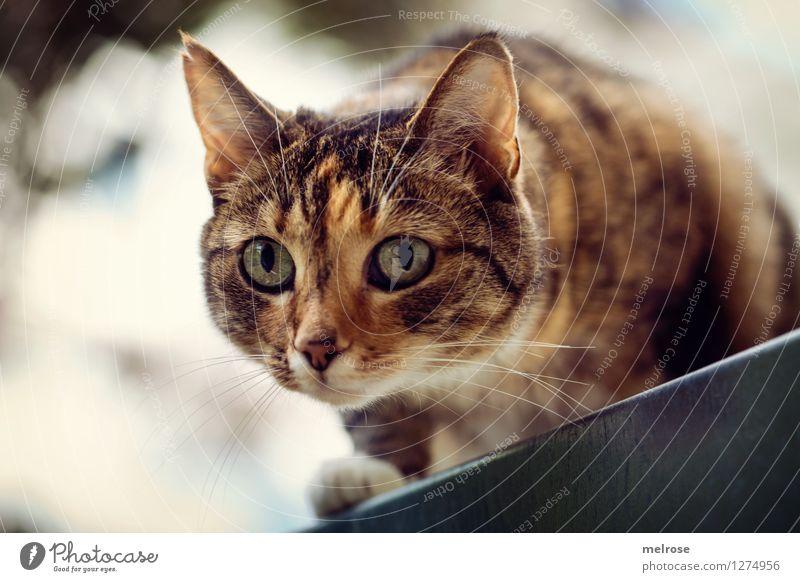 Cat Beautiful White Animal Yellow Style Brown Moody Glittering Illuminate Elegant Crazy Observe Threat Curiosity Pet